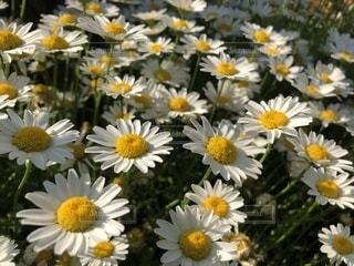 黄色の花の写真・画像素材[1176535]