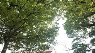 大きな木の写真・画像素材[1176538]