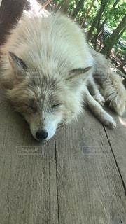 木材の表面に横になっている犬みたいなきつねの写真・画像素材[1198205]