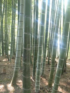 竹の木グループの写真・画像素材[1313476]