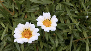 白い花の写真・画像素材[1573983]
