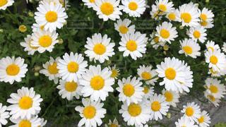 白と黄色の花の写真・画像素材[2130975]