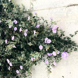 紫色の花一杯の花瓶の写真・画像素材[766073]