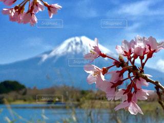 桜と富士山の写真・画像素材[766534]