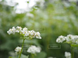 蕎麦畑が満開になった。の写真・画像素材[804937]