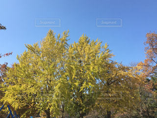 イチョウの木の写真・画像素材[847560]
