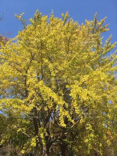 イチョウの木の写真・画像素材[847561]