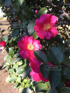咲き始めの椿♪の写真・画像素材[913116]
