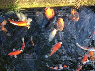 鯉に餌やりの写真・画像素材[977850]
