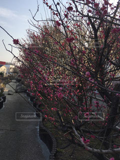 河津桜の写真・画像素材[1023462]