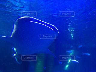 泳ぐジンベエザメの写真・画像素材[1637268]
