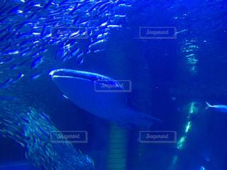 ジンベエザメと魚たちの写真・画像素材[1637271]
