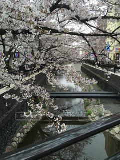 五分咲き桜並木の写真・画像素材[1878682]