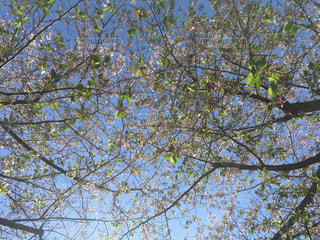 見上げた葉桜の写真・画像素材[2035305]