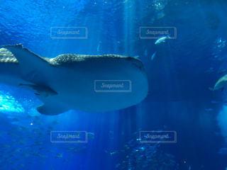 ジンベエザメの写真・画像素材[2117573]