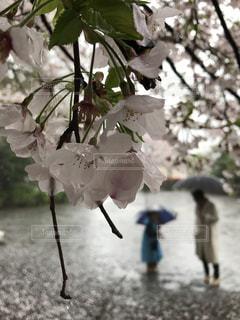 桜の雨と親子の写真・画像素材[766917]