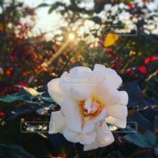白い薔薇 - No.793740