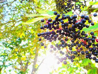 木の実の写真・画像素材[790449]