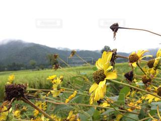黄色の花の写真・画像素材[773667]