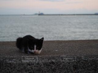 水の体の前で座っている猫の写真・画像素材[768313]