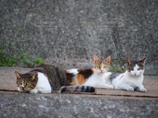 地面に横になっている灰色と白猫の写真・画像素材[768319]