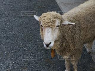 羊さんの写真・画像素材[963650]