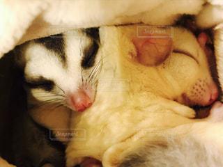 おやすみモモンガの写真・画像素材[769479]