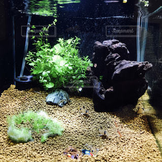 熱帯魚とカメの写真・画像素材[773536]
