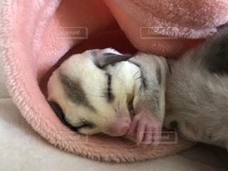毛布の上に横になっているモモンガの写真・画像素材[1294635]