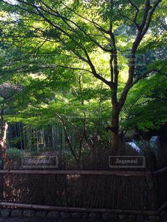 竹林の写真・画像素材[770458]