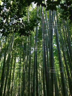 竹林の写真・画像素材[770459]