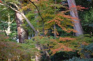森の大きな木の写真・画像素材[891492]