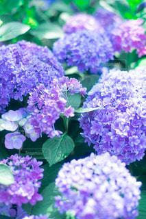 咲き誇るの写真・画像素材[2219240]