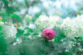 薔薇と紫陽花の写真・画像素材[2229568]