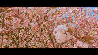 桜の写真・画像素材[1177265]