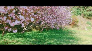 春、桜、昼寝の写真・画像素材[1177266]