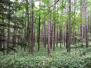 上高地の森林の写真・画像素材[771377]