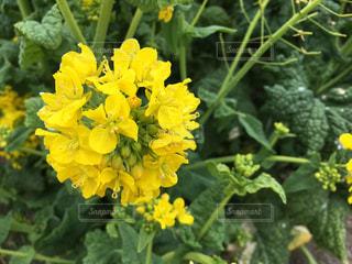 菜の花アップの写真・画像素材[771410]