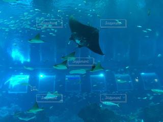 水族館  マンタの写真・画像素材[771440]