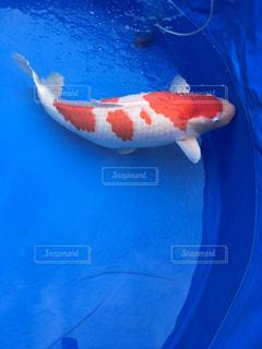 錦鯉の写真・画像素材[780328]
