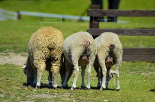 緑豊かな緑のフィールドの上に羊立っての群れの写真・画像素材[1457569]