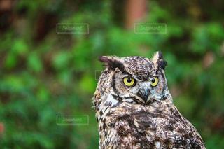 The Owl in Capilano Suspension Bridge Parkの写真・画像素材[771522]