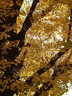 上野公園のイチョウの木 - No.771681