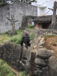 岩の上に座ってるゴリラ - No.772194