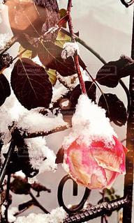 凍てつく薔薇の写真・画像素材[977398]