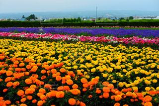 花のレインボーの写真・画像素材[772433]