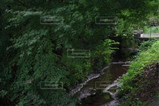 森の狭い川の写真・画像素材[1446949]