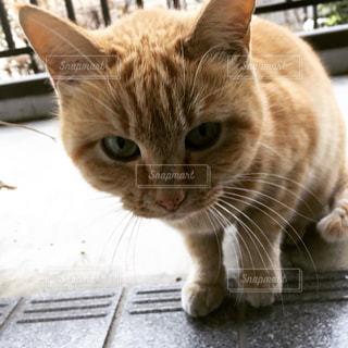 上目遣いの茶トラ猫 オスの写真・画像素材[773163]