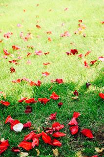 散る薔薇の写真・画像素材[779909]