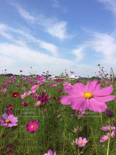 秋空とコスモス畑の写真・画像素材[796466]